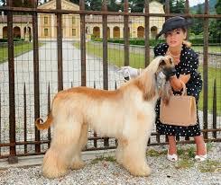 afghan hound grooming styles 309 best afghan hound images on pinterest afghans afghan hound