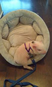 what to get for a new pet mini pig life with a mini pig