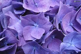 fiori viola viola