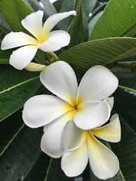 100 hawaiian fragrant flowers hawaii u0027s flowers are as