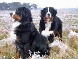 australian shepherd e bovaro del bernese razze cani bovaro del bernese
