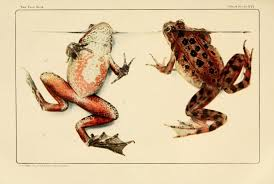 file frog book 1906 color plate 16 jpg wikimedia commons