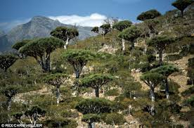 Rhode Island vegetaion images The 39 lost world 39 of socotra a remote island with plants up to 20 jpg