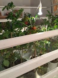 Plants Indoors by Move Tomato Plants Indoors Growerflow