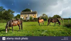 three horses grazing in front of a country farm house stock photo