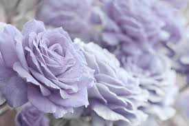 lavender roses all the lavender roses photograph by jennie schell