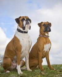 american pitbull terrier vs german shepherd american pit bull terrier vs boxer dogs cuteness