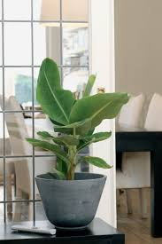 banana trees 10 buying and caring tips for these exotic houseplants