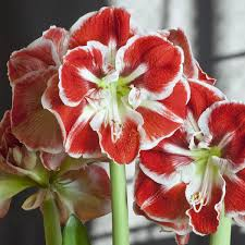Amaryllis Flowers Amaryllis Bulbs Item 7029 Samba For Sale