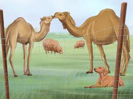 how to care for a camel with pictures wikihow