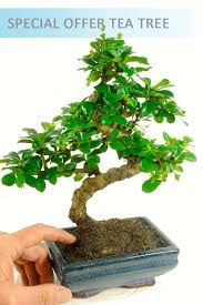 indoor bonsai tree range from bonsai direct tree shop