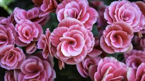 begonia flower begonia flower meaning flower meaning