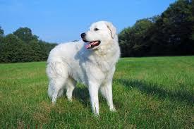 belgian sheepdog dogtime kuvasz dog breed information pictures characteristics u0026 facts