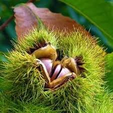 7 best bonsai images on bonsai american chestnut and