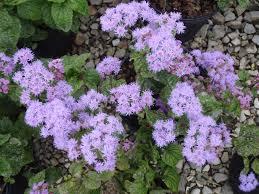 native illinois plants mist flower tennessee smart yards native plants