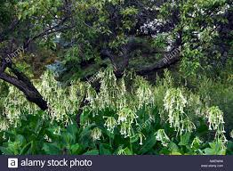 ornamental tobacco or nicotiana alata flowers in the