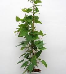 plants u0026 flowers kangaroo vine
