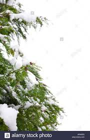 snow covered christmas tree border isolated against a white stock
