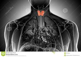 Human Anatomy Thyroid X Ray Illustration Of The Male Thyroid Gland Stock Illustration