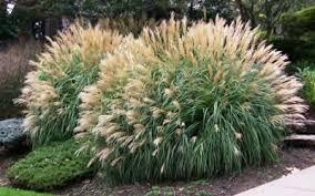 buy adagio maiden grass miscanthus sinensis adagio 2 5