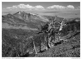 black and white picture photo bristlecone pine tree on slope