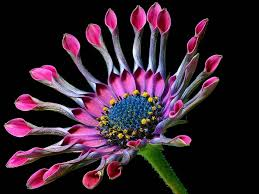 free picture daisy daisies flowers petals pink pollen