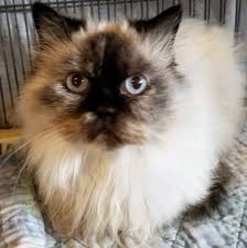 mona cat available cats u2013 specialty purebred cat rescue