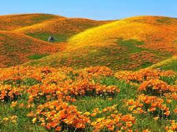 California Poppy Visit Antelope Valley California Poppy Reserve 2017 40 U0027s 60 U0027s