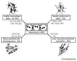 engineered liver platforms for different phases of drug