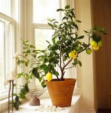 best 25 mini lemon tree ideas on lemon tree plants
