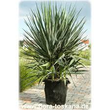 Yucca Wohnzimmer Ficus Carica Violette Feigen Pflanzen Feigenbaum Flora Toskana