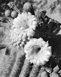 Black And White Corsage Desert Corsage 1936 U2013 Amblewood Gallery