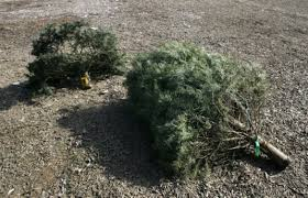 Christmas Tree Pick Up Guidelines Set For Christmas Tree Recycling U2013 Orange County Register