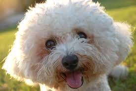 bichon frise dog pictures bichon frise 10 of the best pets for allergy sufferers mnn