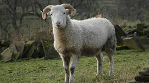 what sound does a sheep make reference com