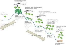 frontiers seagrasses in the age of sea turtle conservation and