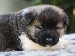 american akita puppies breed information u0026 puppies for sale