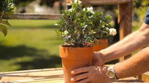 how to keep a potted gardenia indoors for the winter garden