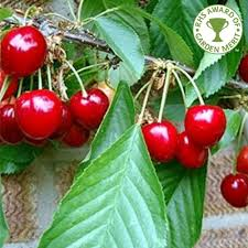 cherry stella buy cherry trees purchase cherry fruit trees