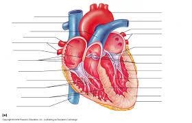 Human Anatomy Worksheet Class Blog Bio 202 Heart Anatomy Worksheet
