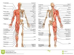 Anatomy And Physiology The Muscular System Muscular System Diagram Posterior And Lateral View Human Anatomy