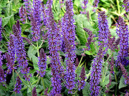 Salvia Flower Salvia Flower U2013 Growing From Seeds Pictures Of Salvia Care And