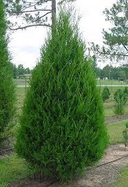 a cedar tree without pollen wsav tv