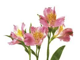 alstroemeria flower alstroemeria peruvian flower meaning symbolism teleflora
