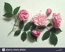 parsons pink china also known as blush and rosa x odorata