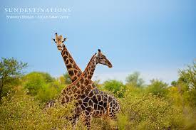 ndzuti giraffe court in the act ndzuti safari camp