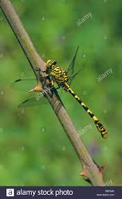 green eyed hook tailed dragonfly small pincertail onychogomphus