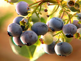 tips on growing great blueberries hgtv