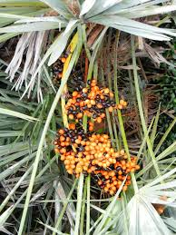 fl native plants landscaping with florida native plants blog archive saw palmetto