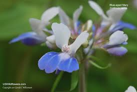 Florida State Wild Flower - us wildflower u0027s database of blue wildflowers for new york